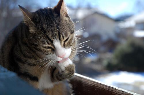 Mi gato se limpia compulsivamente, ¿por qué?