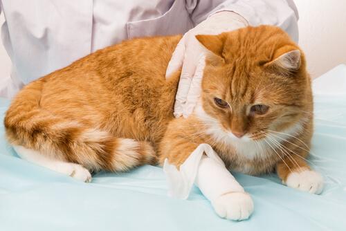 Hemorragia en los gatos: cómo actuar para minimizar los daños