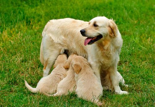 Mastitis en perras