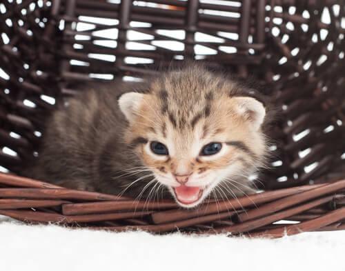 ¿Cómo identificar los maullidos de tu gato?