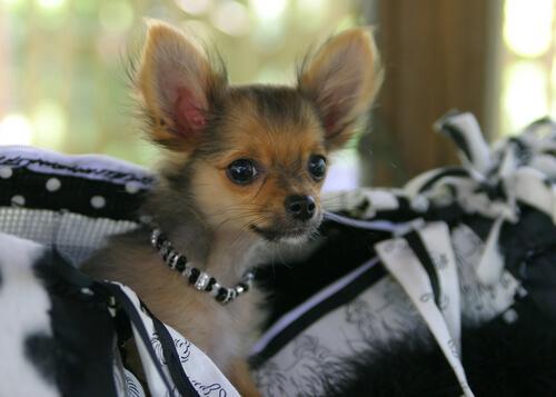 Modas en perros que nunca deberían permitirse
