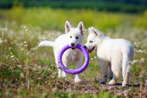 El Pastor Suizo es un perro muy juguetón.