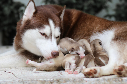 A husky and her litter of puppies.