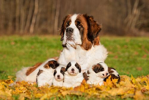 Cómo saber de qué tamaño será un perro cuando crezca