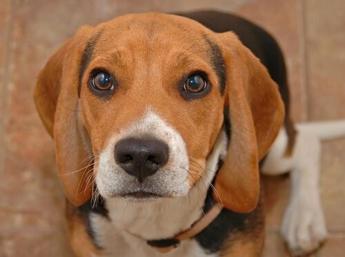 Por qué a los perros les lloran los ojos