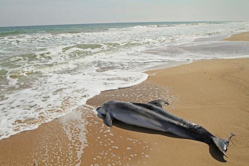golfinho encalhado