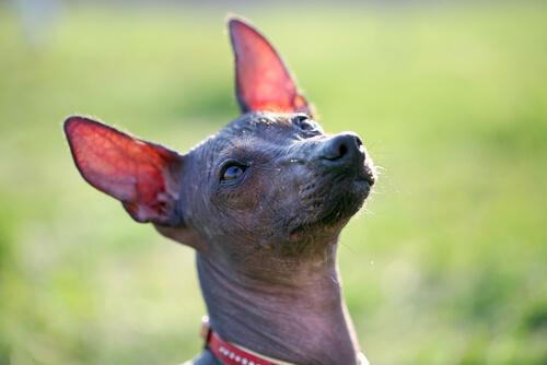 Todo sobre el perro sin pelo del Perú