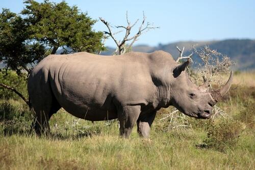 Rinoceronte en la selva