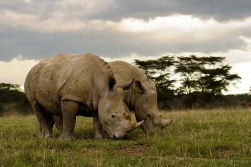 Rinocerontes en la selva