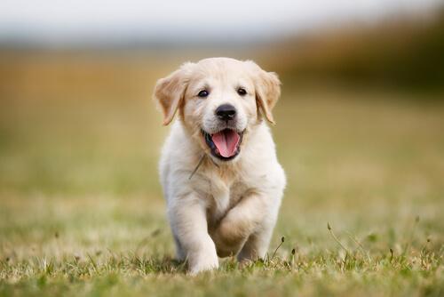 Falsos mitos del comportamiento canino