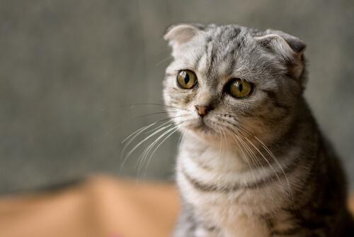 Por qué debes esterilizar a tu gato
