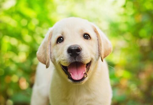 Historias de los inteligentes perros labradores