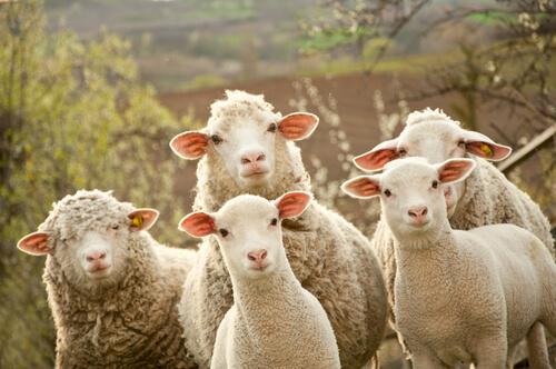 La reproducción de las ovejas