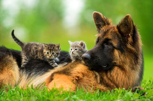 Una perrita adopta a unos cachorros de gato