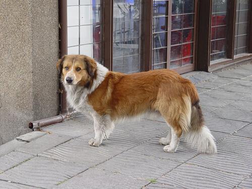 Una perrita perdida recorrió una distancia de más de 50 kilómetros hasta encontrar su casa