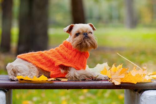 cão vestido