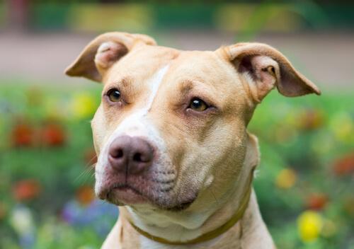 Un perro recibió una bala defendiendo a su dueño y ahora busca un nuevo hogar