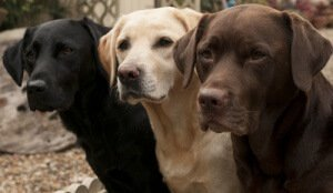 Black white and brown Labradors in a row