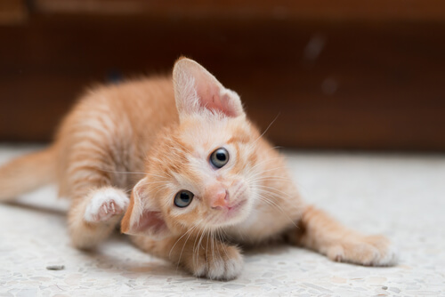 Gato se rasca