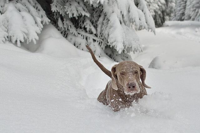 Gran danés en la nieve