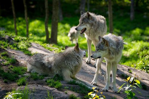 Hasta el más pequeño caniche es un lobo de corazón