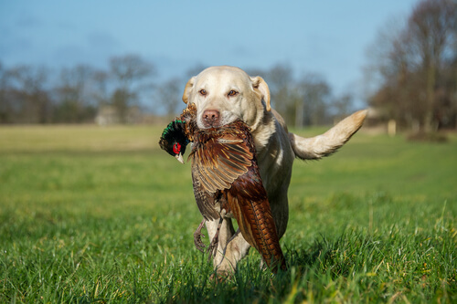 Perro de caza con presa