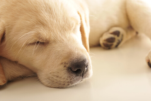 Por qué los perros lloran mientras duermen