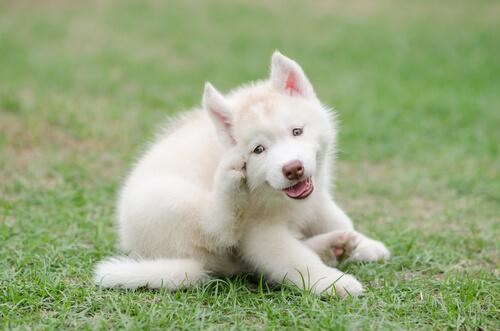 Perro rascándose con la pata