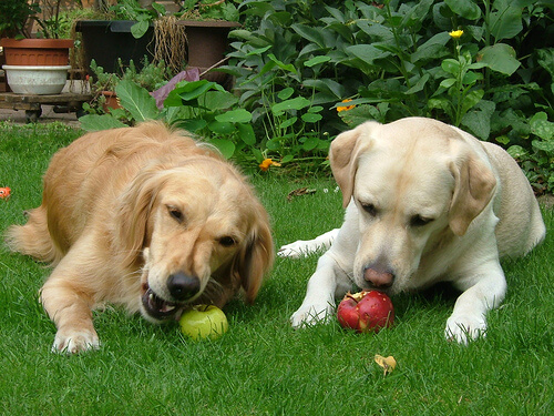 Cães comendo maçã