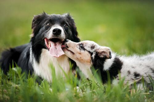 cachorro apaixonados