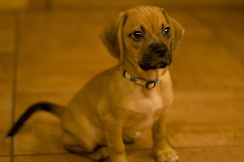 A boxer puppy.