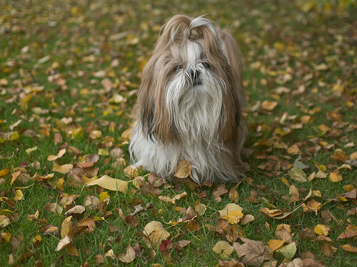 El Shih Tzu, un perro del Tíbet