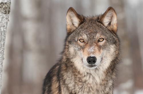 Lobo el origen del perro
