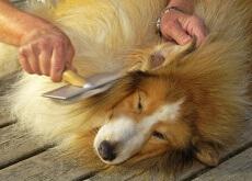 desenredar el pelo de un perro