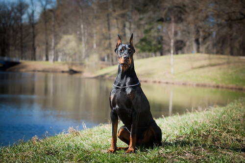 doberman perro de defensa