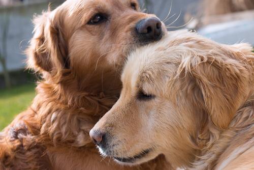 enamorarse los perros