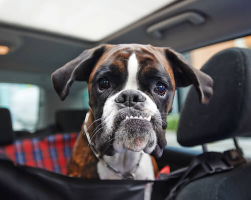 El hipotiroidismo en perros