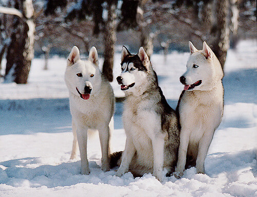 El husky siberiano soporta el frío