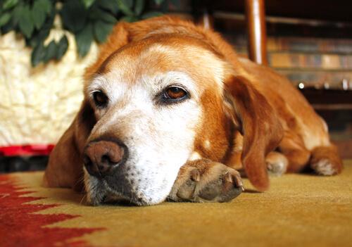 osteoartritis canina