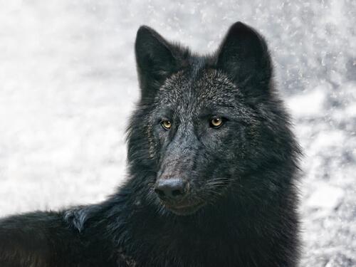 Lobo preto