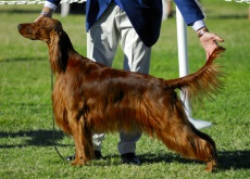 perro en concurso de belleza canina