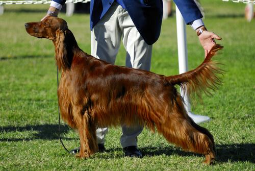 Cómo funcionan los concursos de belleza canina
