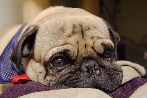 Cómo cuidar a un perro con gripe
