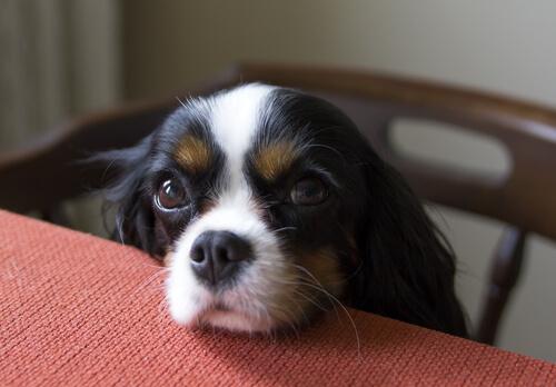 perro pide en la mesa