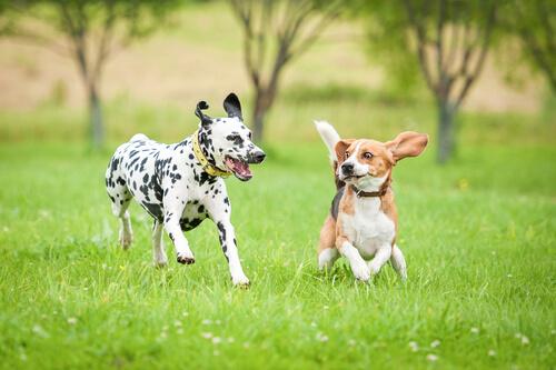 Alimentación y suplementos para perros deportistas