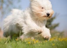 perro suelte menos pelo