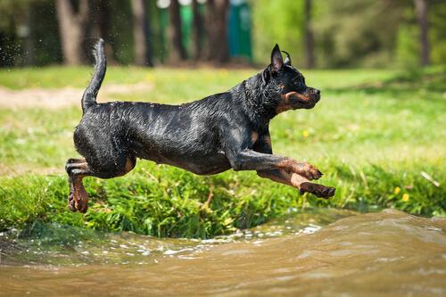 perros de defensa