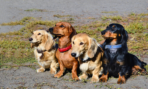 A group of four dachschunds