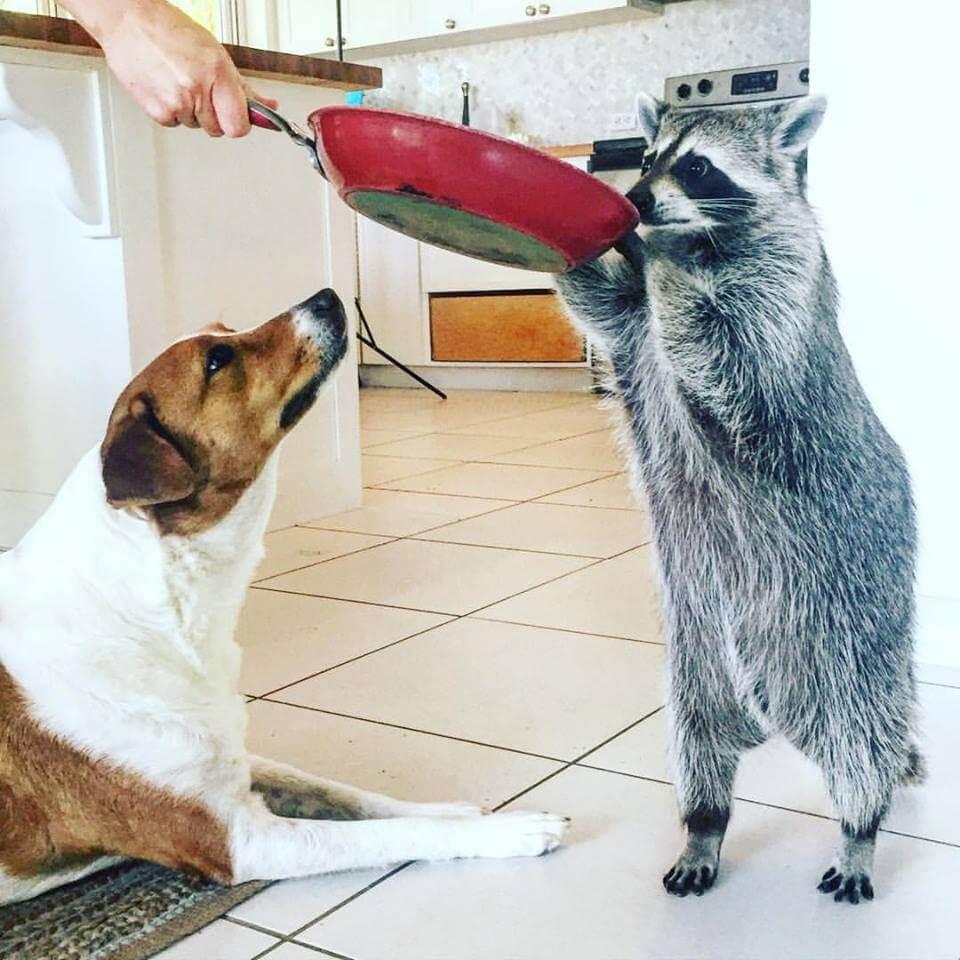 Mapache y perro