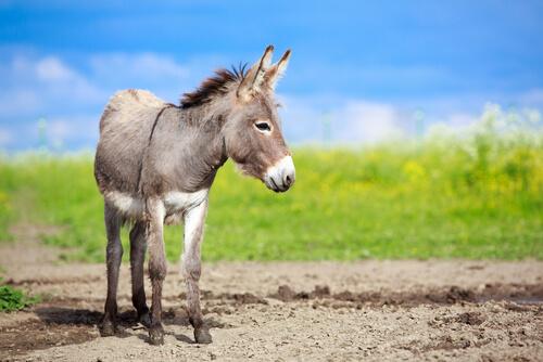Diferencias entre asno, burro y mula